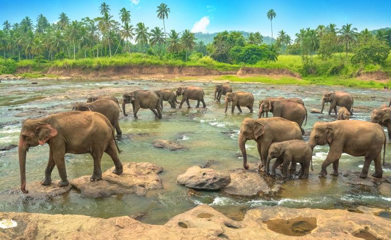 Elefantengruppe im Wasser in Sri Lanka