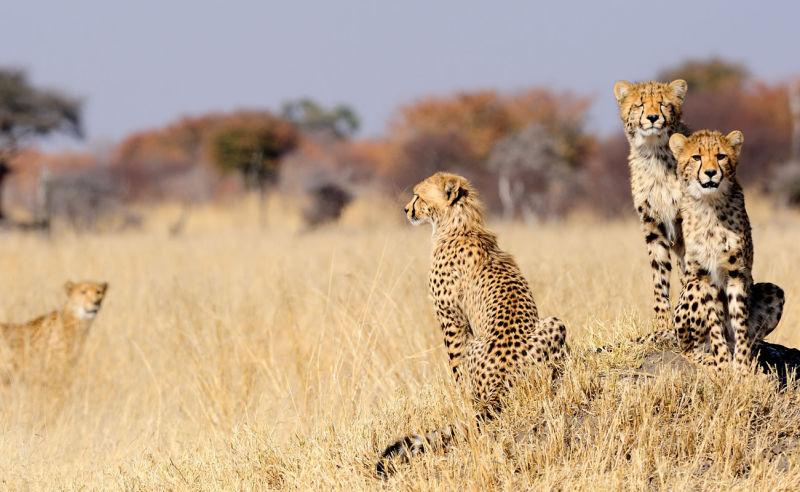 Junge Geparden in Simbabwe