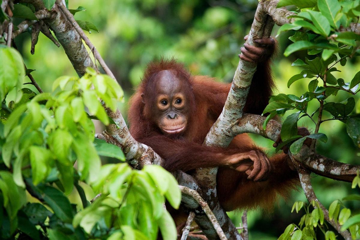 Baby-Orang-Utan in freier Wildbahn auf der Insel Kalimantan (Borneo)