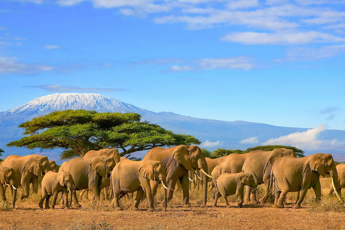 Elefantenherde vor mit Schnee bedecktem Kilimanjaro in Tansania