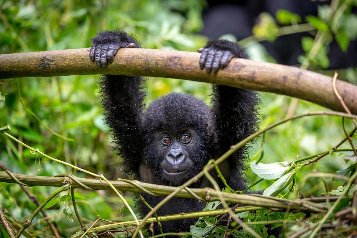 Gorillababy im Regenwald im Kongo