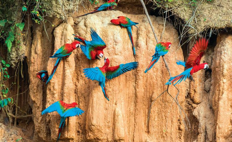 Aras picken Ton im peruanischen Amazonas-Dschungel von Madre de Dios