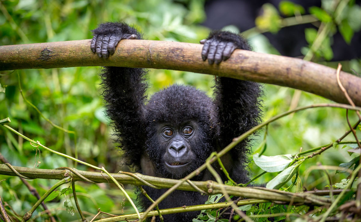 Gorilla im Nationalpark in Ruanda