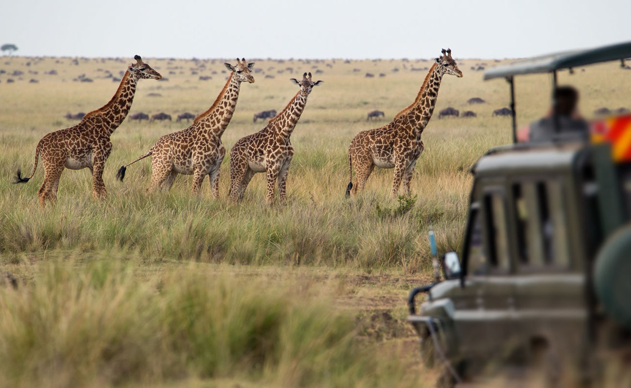 Giraffenherde in der Savanne in Kenia
