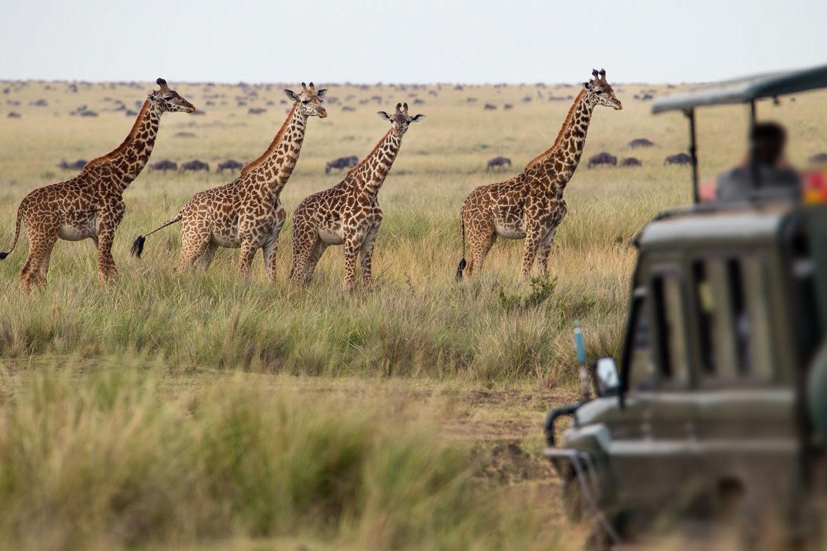 Giraffenherde in der Savanne in Kenia