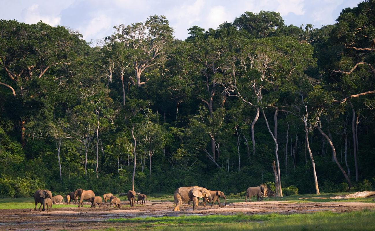 Elefanten am Rand des Regenwaldes in der zentralafrikanischen Republik
