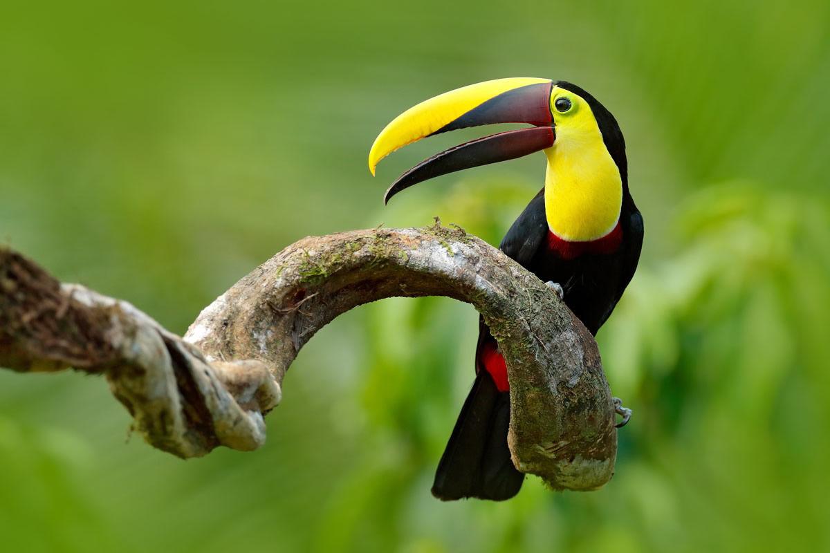 Swainson-Tukan, der auf einem Ast im tropischen Regenwald sitzt