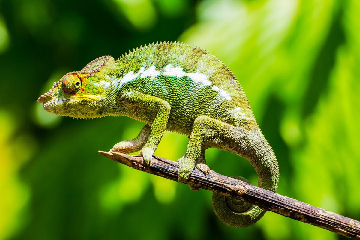 Grünes Chamäleon im Dschungel auf Madagaskar