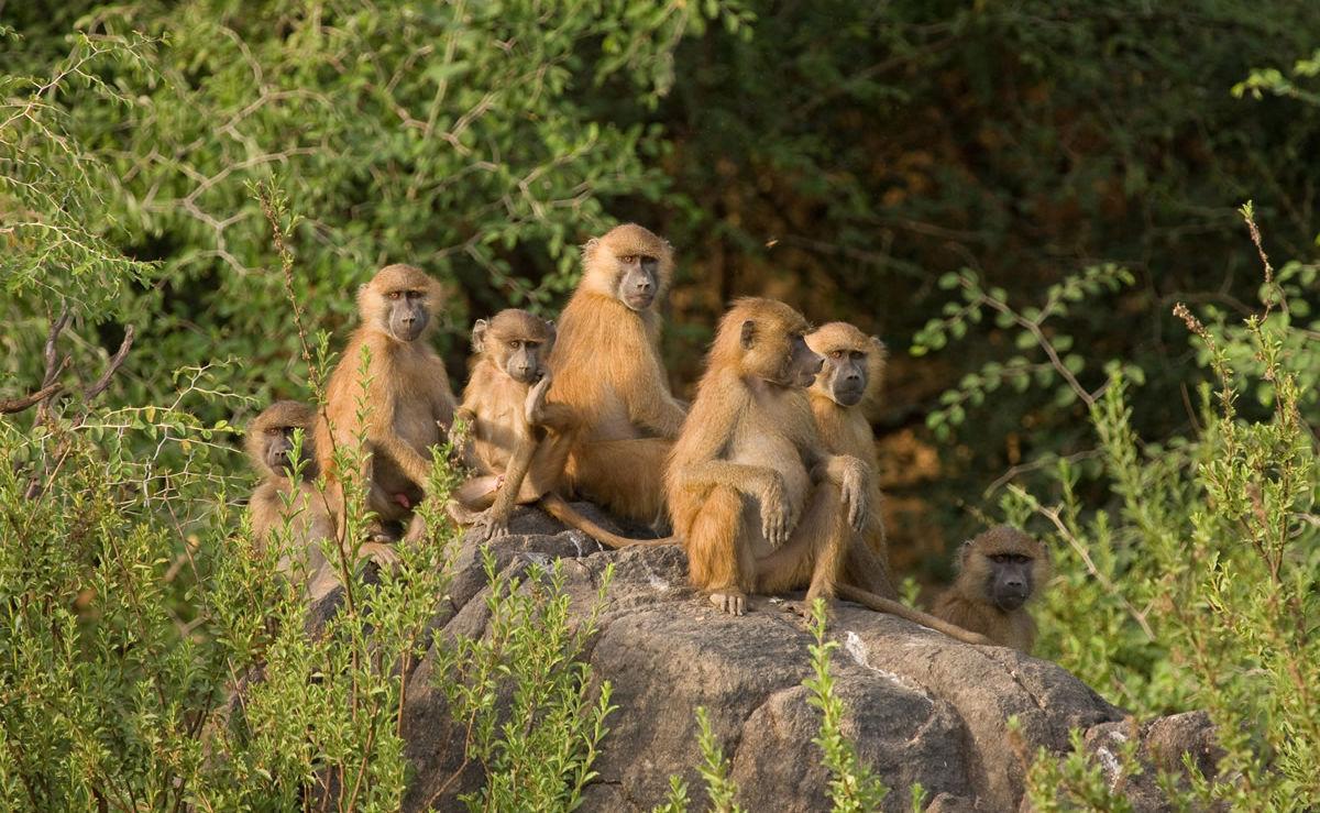 Gruppe Paviane in Guinea