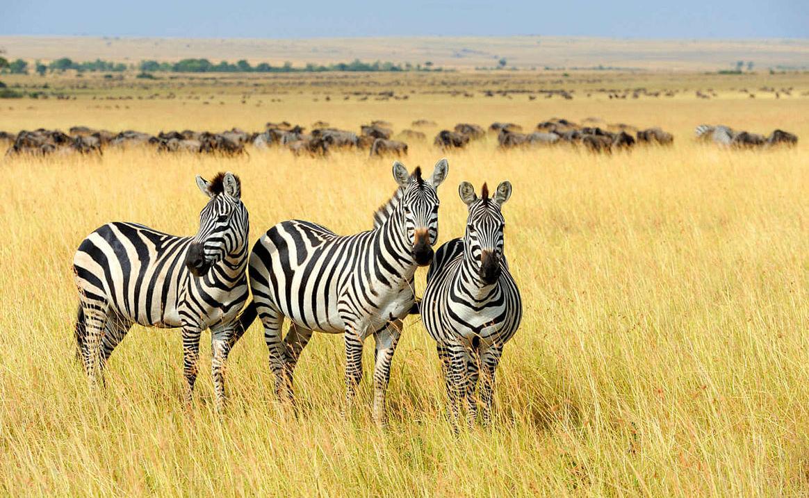 Zebras im Gras
